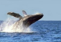 Humpback Whales, Riviera Nayarit's Most Loyal Visitors